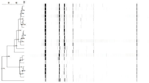 Dendrogram from ISSR-PCR patterns
