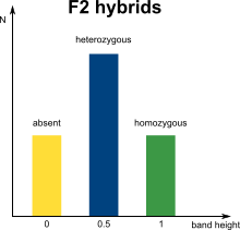 AFLP marker distribution in F2 hybrids